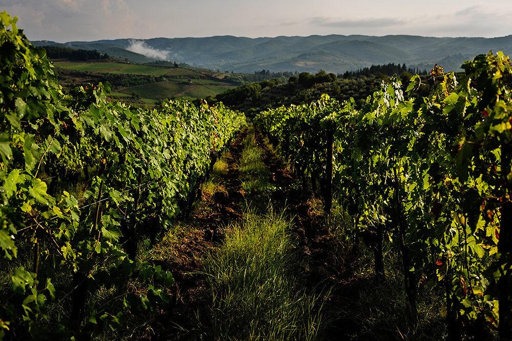 Vineyard in Panzano in Chianti