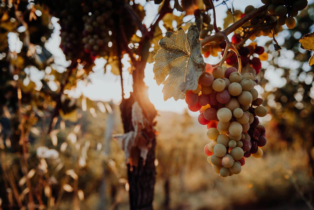 langhe vineyards, detail